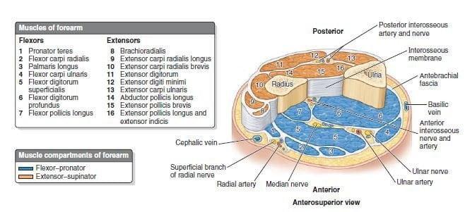 compartimentos do antebraço