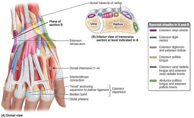 compartimentos extensores do punho - Compartimentos Musculares do Membro Superior